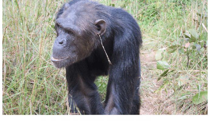 Schimpanse steht auf Ohrschmuck