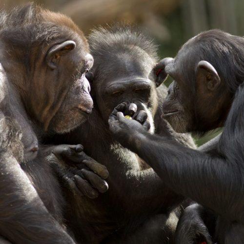 Schimpansen schauen voneinander ab.