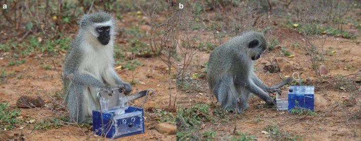 Affen zeigen soziales Lernen und öffnen Boxen