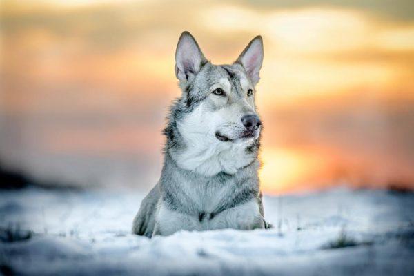 Wolfshund Jesper