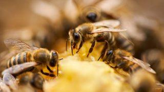 Bienen produzieren Propolis.