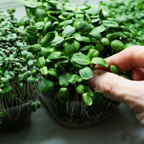"""Schon mal ein Baby-Radieschen gegessen? """"Microgreens"""" sind junge Gemüse-Sprossen, die du easy auf deiner Fensterbank ziehen und ernten kannst. Das Besondere: Sie sind nicht nur platzsparend, sondern auch besonders gehaltvoll. Warum, erfährst du hier."""