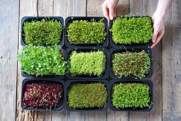 Verschiedene Microgreens