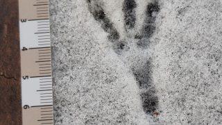 Spur Nebelkrähe