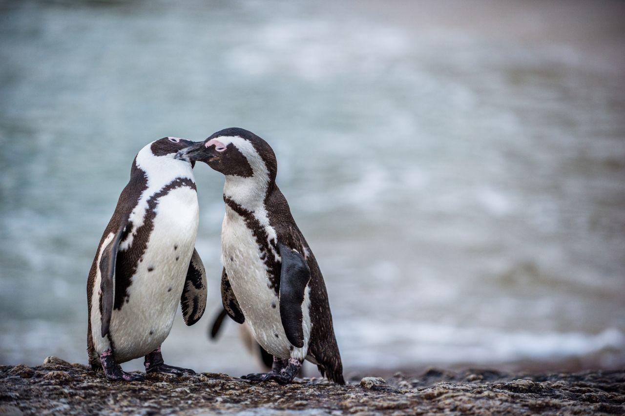 Pinguine Paarung