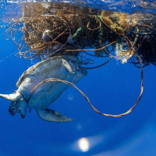 Eine Schildkröte ist in einem Fischernetz gefangen. Können plastikfressende Bakterien die Verschmutzung der Meere beenden?
