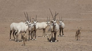 Arabische Oryx Antilope