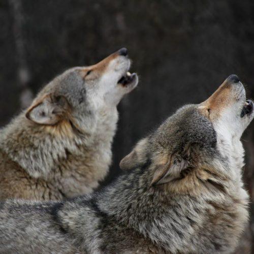 Wölfe heulen zur Paarungszeit.
