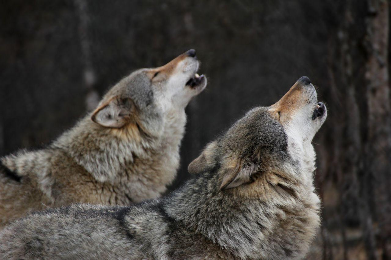 Mythen im Tierreich: Heulen Wölfe wirklich den Mond an?