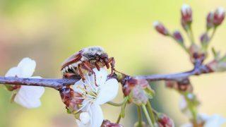 Maikäfer auf einer Blüte