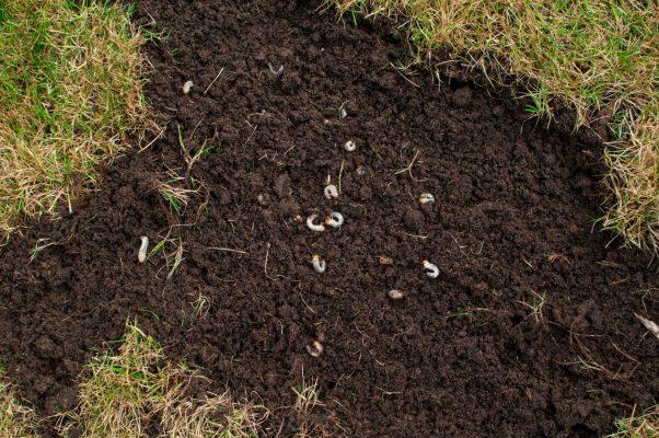 Engerlinge im Boden