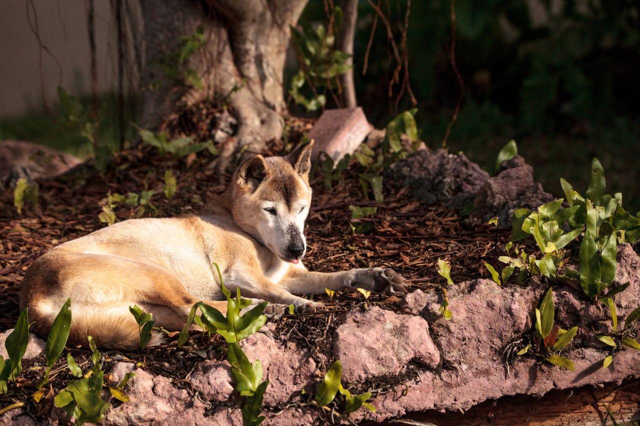 New Guinea Highland Wild-Hund