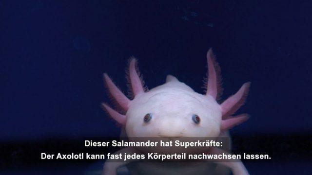 Axolotl: Wundersames Wassermonster