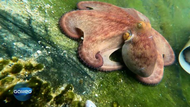 Die Oktopus Farm - Paradies für eine aussterbende Spezies?