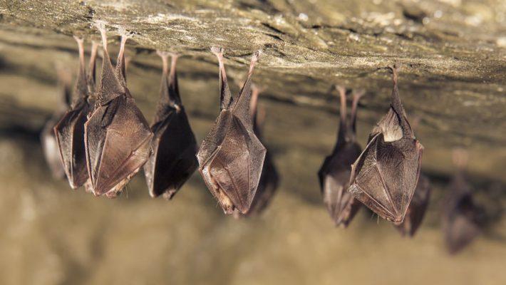 Schlafende Fledermäuse in einer Höhle