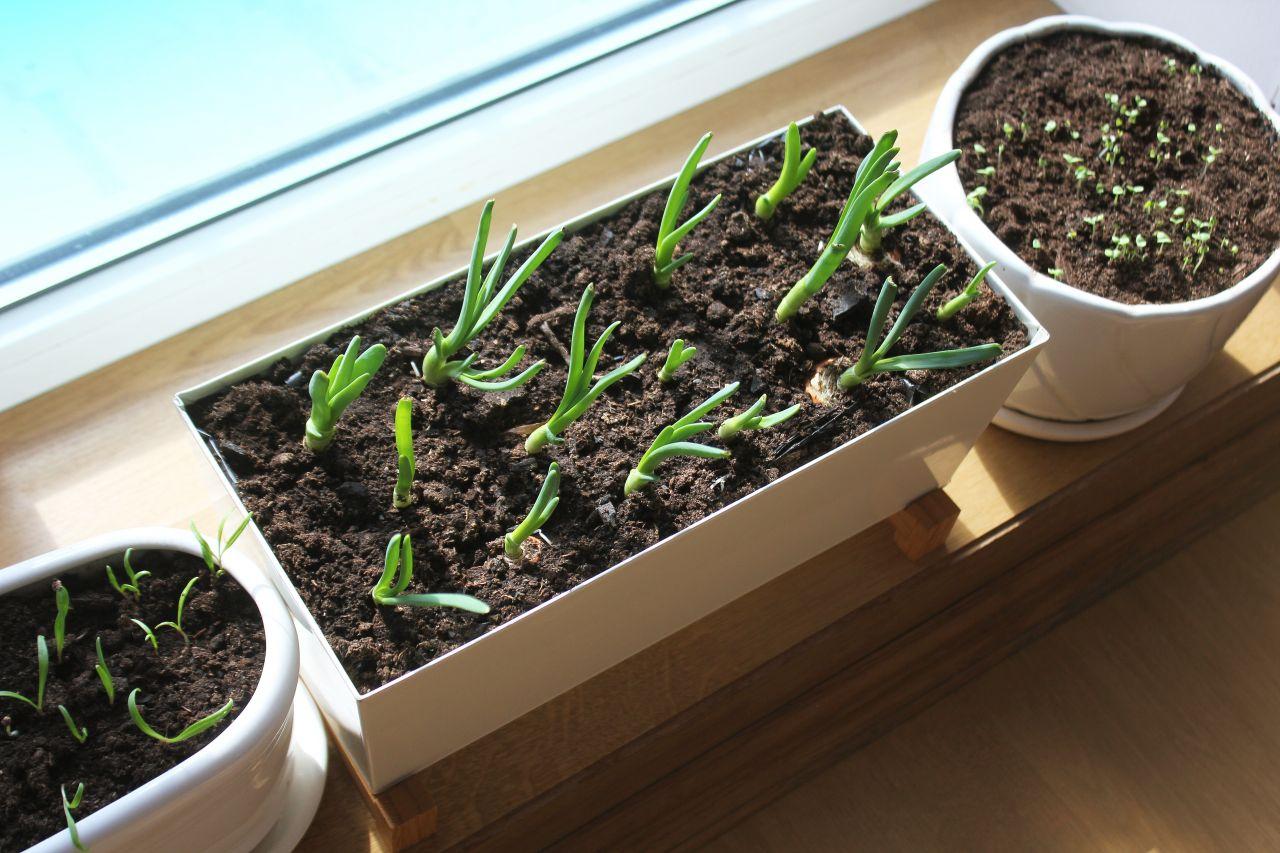Gemüse in der Wohnung anbauen