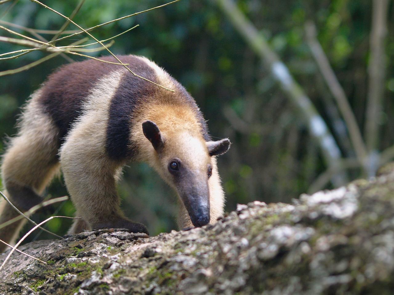 Tamandua gehört zu den Ameisenbären