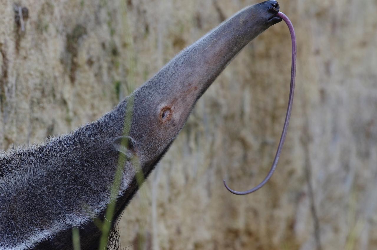 Die Zunge eines Ameisenbär ist extrem lang, ca. 30 cm und sehr klebrig