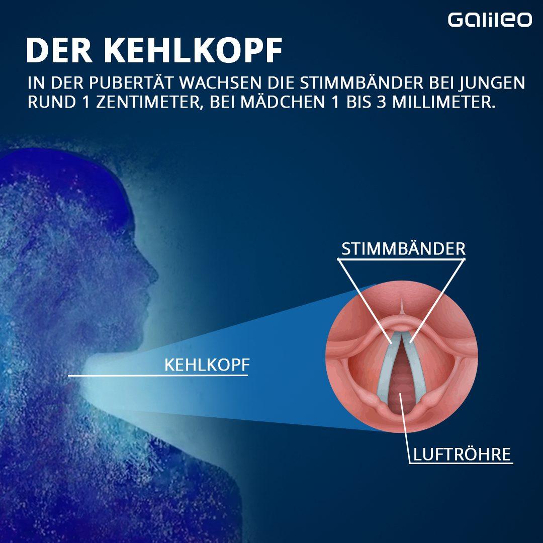Kehlkopf Grafik