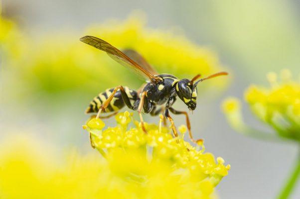 Wespe bestäubt Blüte