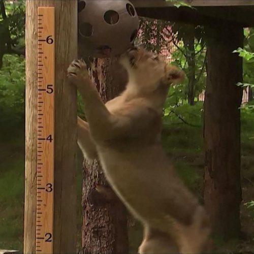 In den Clips der Woche: So wird im Londoner Zoo die Größe von Löwen gemessen.