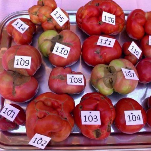 """Es geht um die inneren Werte - mit dieser Philosophie kürt der """"Ugliest Tomato Award"""" wieder Spaniens hässlichste Tomate."""