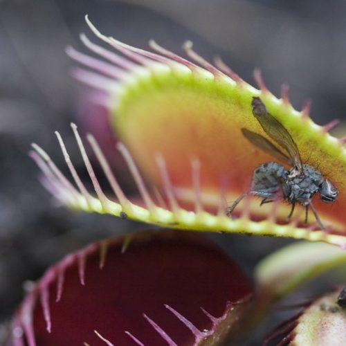 Fleischfressende Pflanze hat eine Fliege gefangen