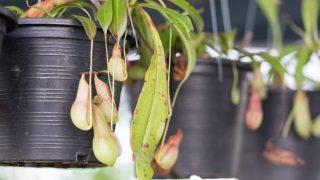 Nepenthes fleischfressende Pflanze