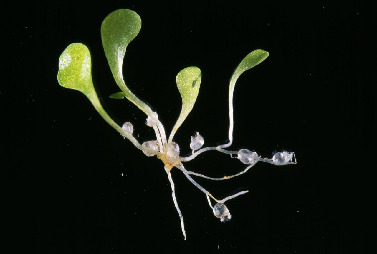 Sandersonii fleischfressende Pflanze
