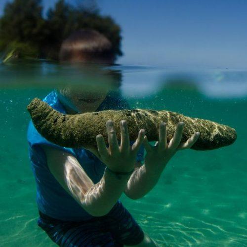 Guter Fang: Seegurken gelten als Delikatesse.