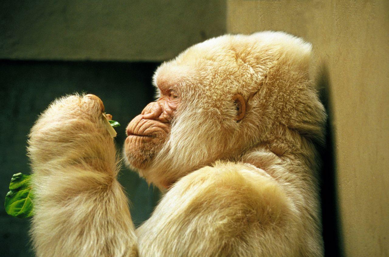 Albino Tiere, hier ein Albino Gorilla: Was die Ursachen für Albinismus bei Tieren sind und wie es vererbt wird.